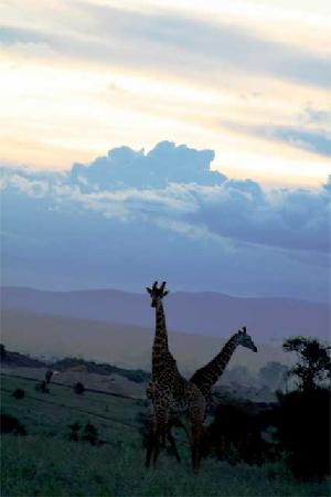 Lukenya Getaway: Giraffes in the dusk at the Athi Plain
