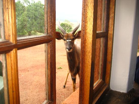 Mlilwane Wildlife Sanctuary, Swasiland: Nyala outside window