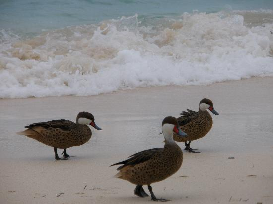 Sapphire Beach Resort: These ducks were so cute at Sapphire