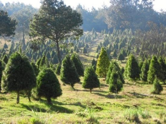 Coatepec, México: Ciclo Verde, las Vigas Veracruz, para escojer el arbolito de Navidad