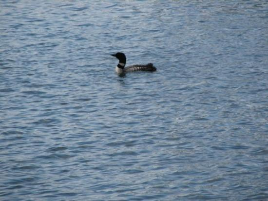 Embarrass, MN: A loon, state bird of MN :)