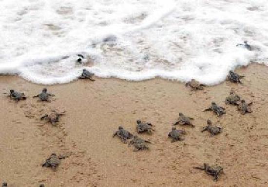 Pie de la Cuesta, México: Liberacion de tortugas en la barra de Coyuca