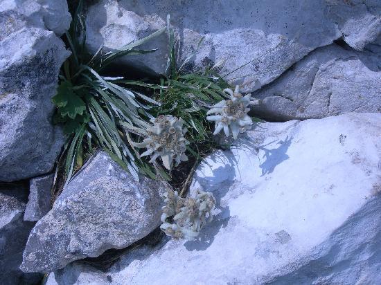 Rare e preziose stelle alpine. Borno