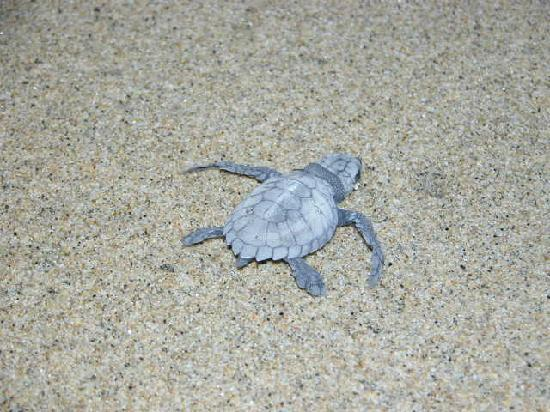 Rancho Pescadero: Baby turtles hatching steps from the hotel