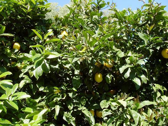 The Peppertree Luxury Accommodation: Lemon tree in the garden