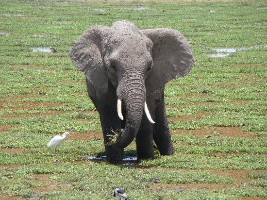 Amboseli Eco-system, Κένυα: Tusker in swamp