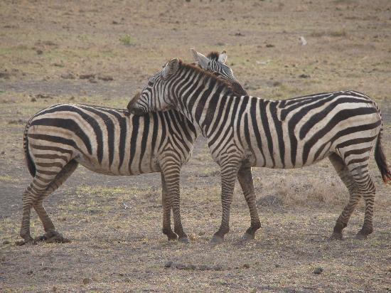 Amboseli Eco-system, Kenya: Romance!