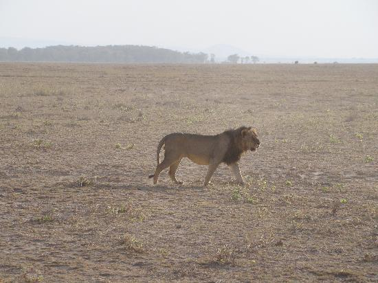 "Ecosistema de Amboseli, Kenia: I'm ""the king"" - any doubt?"