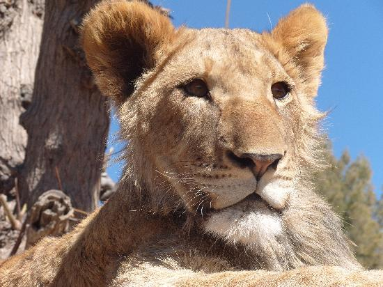 Gobabis, Namíbia: Beautiful lion