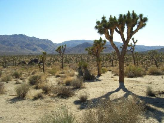 Twentynine Palms, CA: The Joshua Tree is known to grow in just two places on Earth.  Here and somewhere near Jerusalem