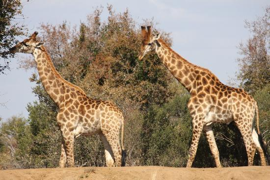 Mabalingwe Nature Reserve: You can't miss the giraffe!