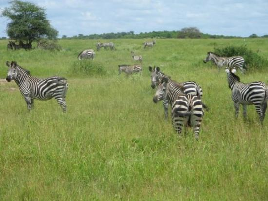zebra looks shining at mikumi national park picture of. Black Bedroom Furniture Sets. Home Design Ideas