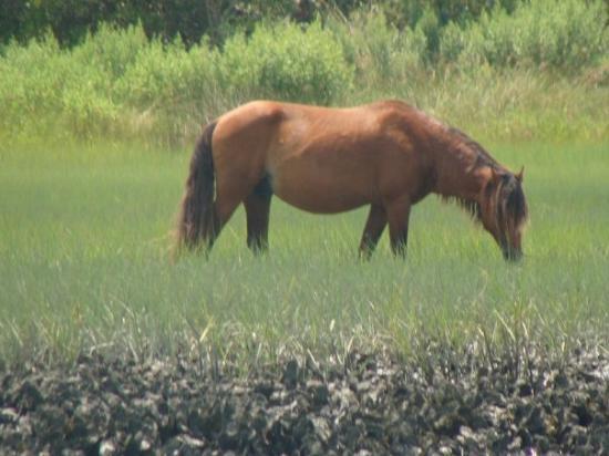 wild pony, Beaufort, NC