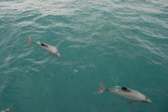 Oinako Bed and Breakfast: Hector's dolphins