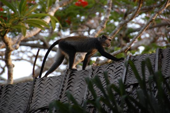 Diani Blue: Monkeys playing in the garden