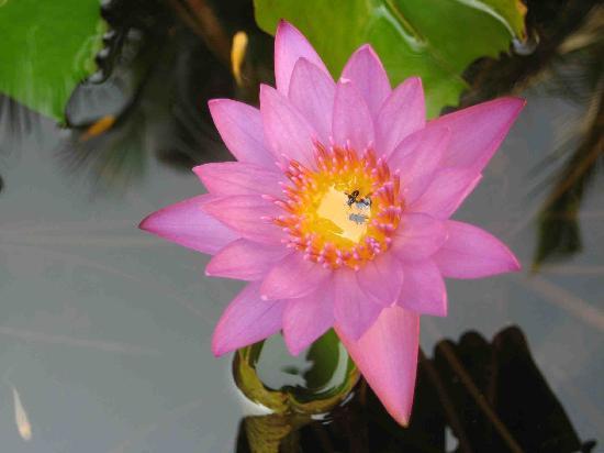 Adamo The Bellus Goa: Krishna Kamal with bees