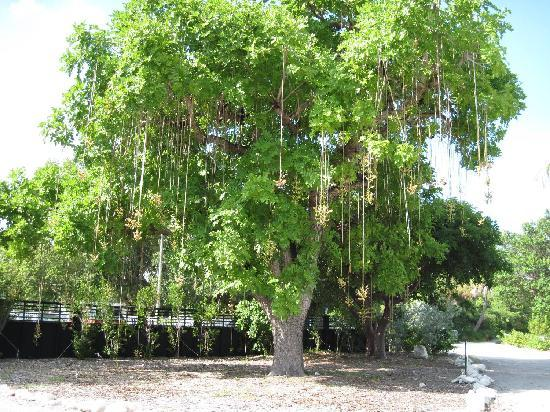 Key West Tropical Forest And Botanical Garden: This Tree Is Called A  Sausage Tree