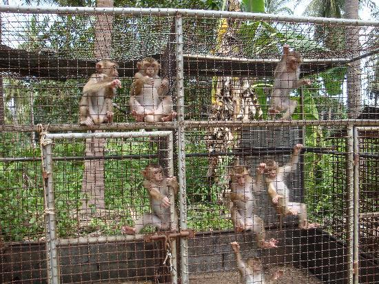 Bophut, Thailand: Monkeys in cramped, dirty cages.
