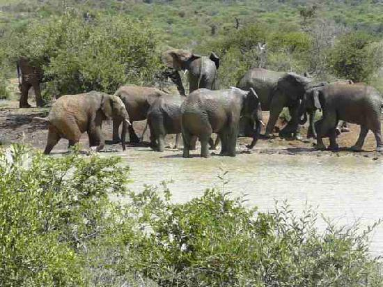 Pilanesberg National Park, Afrika Selatan: Elephants at the Waterhole