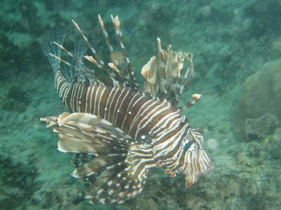 La Residence Villas & Studios: Lion fish seen during snorkeling