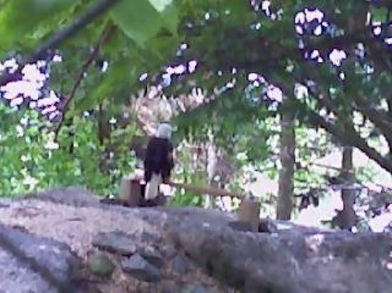 Linville, Caroline du Nord : Was some animals and store could walk by outside Grandfather Mountain. Here was the eagle.
