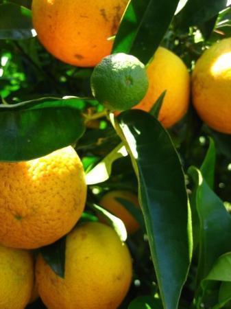 Papamoa, นิวซีแลนด์: orangetree on uncle willie's farm.