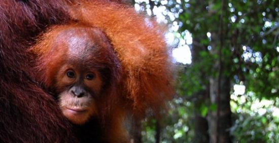 Bukit Lawang, Indonesia: Orang Hutan - 03