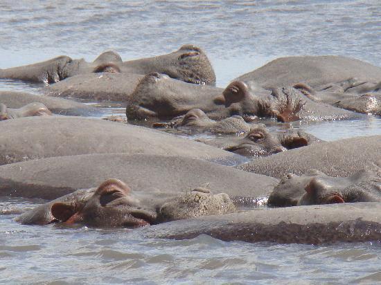 Seronera: Hippo relax