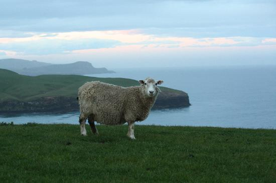 Dunedin, Nouvelle-Zélande : sheep near the fur seal location