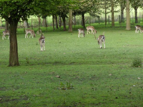 Le Clos des Guibouleraies : Deer grasing in the extended yard