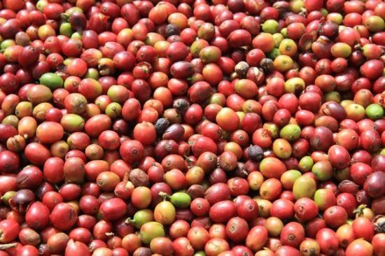 Pakse, Laos: Freshly picked coffee beans in Bolaven Plateau