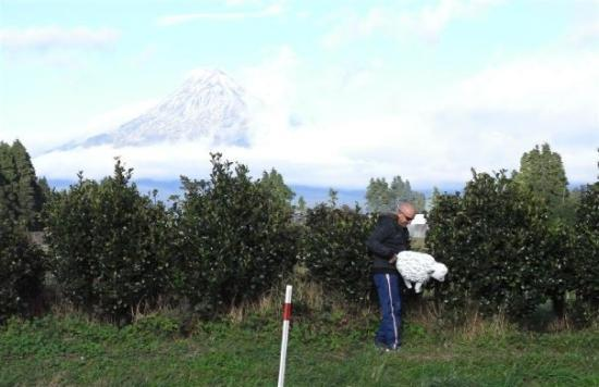 Stratford, Nova Zelândia: Mount Taranaki - what is Dale doing with that sheep?