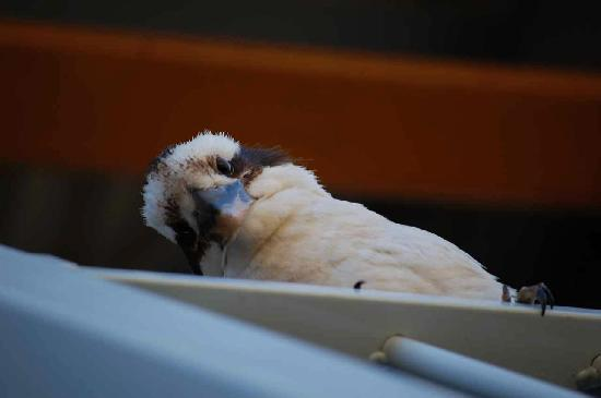 Airlie Beach Myaura Bed and Breakfast: Kookaburra!