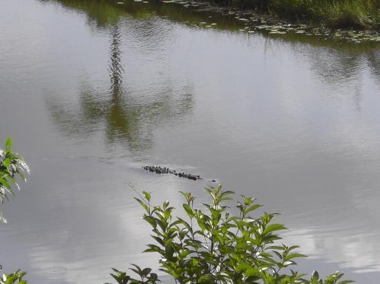 لا أنيتا راين فوريست رانش: Freddie the alligator
