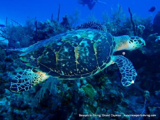 Seasports Diving: Diving with the turtles!
