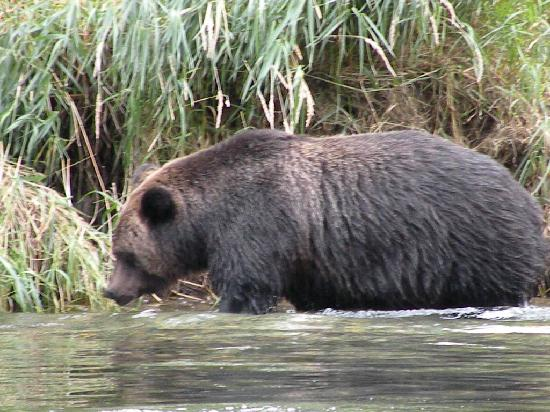 Kynoch Adventures : large grizzly bear