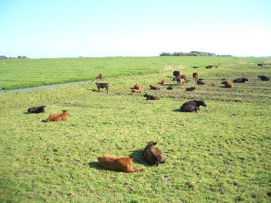 Landgasthof Rentoft Krug: Kühe und ihre Kelber