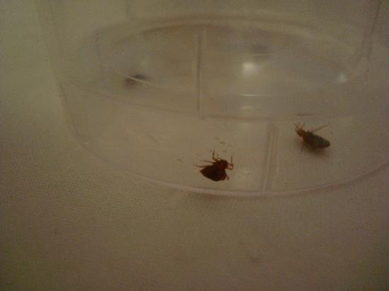 Hotel Maubeuge Gare Du Nord : Bed bugs we caught and showed the rude attendant