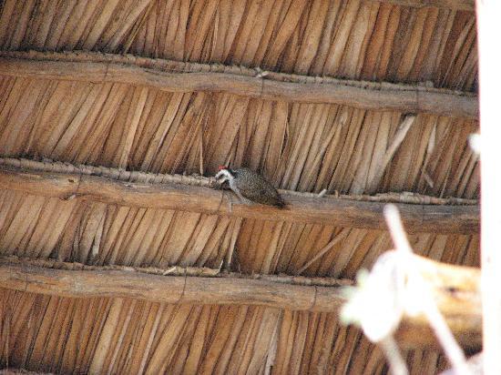Kikoti Safari Camp: Nubian Woodpecker next door