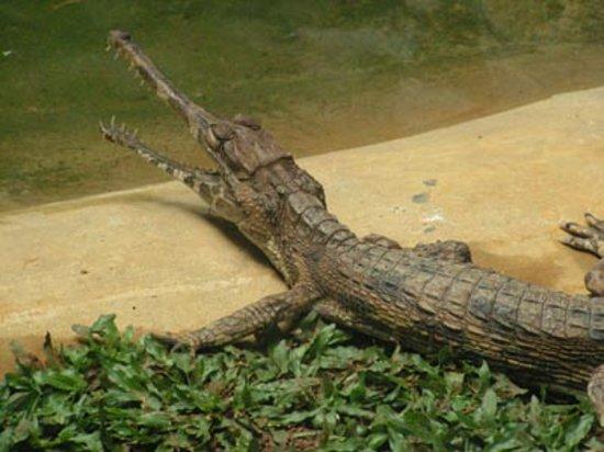 Jong's Crocodile Farm & Zoo : Small freshwater crocodile.