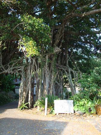 Nakama Banyan: 中間のガジュマル