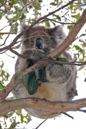 Koala at Kennet River