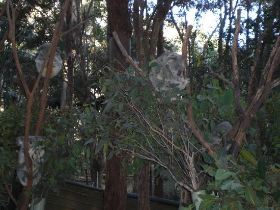 Currumbin Wildlife Sanctuary: コアラ