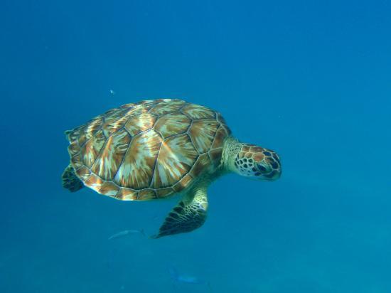 Cool Runnings Catamaran Cruises: Hawksbill turtle