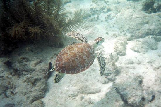 St. Thomas Diving Club: Turtle seen during one of the day trips
