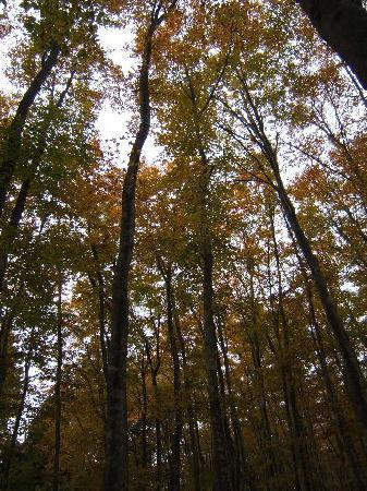 Bijinbayashi: ブナの木がこんなに高いとは思わなかった