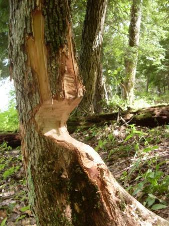 Rensselaerville, NY: beaver tree!