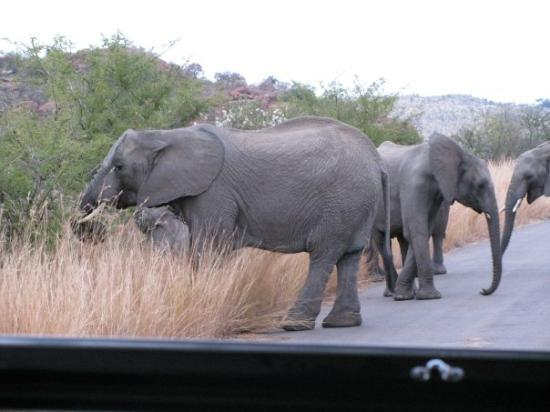 Рустенбург, Южная Африка: the elephants were crossing right in front of us