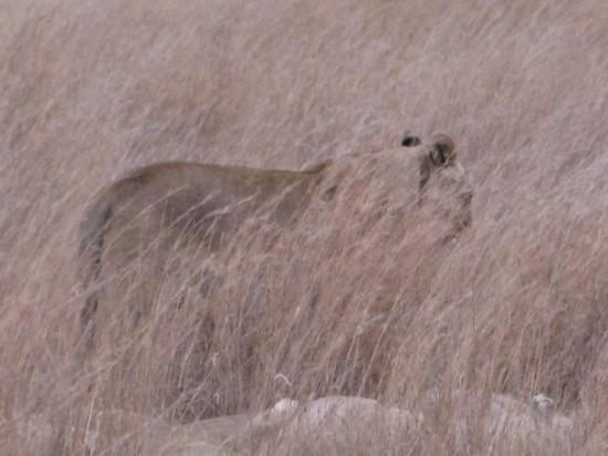 Rustenburg, Sør-Afrika: a pride of lions - there were several lying in the grass playing around