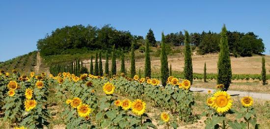 Peccioli, Italy: via d'accesso a una delle strutture de La Mia Toscana con cipressi e girasoli